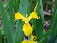 Iris, Yellow Flag