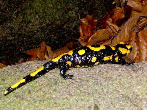Fire Salamander of Devil's Rock