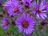 Aster, New England