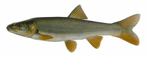 Northern Pike Minnow