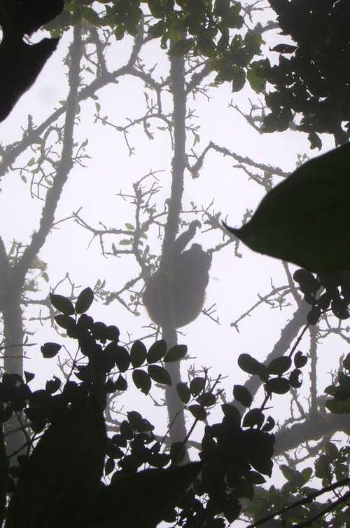 Howler Monkey on Maderas
