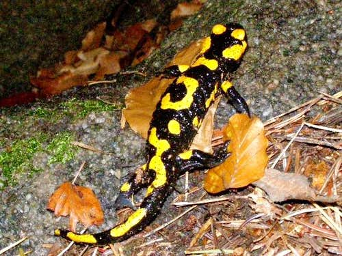 Fire Salamander of Devil\'s Rock