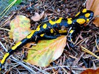 Fire Salamander of Devil s Rock