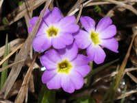 Toteya flower