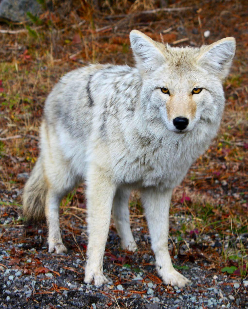 Coyote v. Wolf I