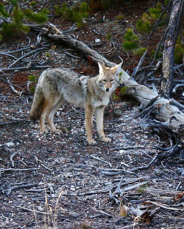 Wolf vs Coyote Comparison