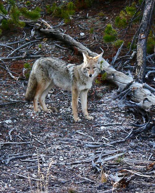 Coyote v. Wolf II