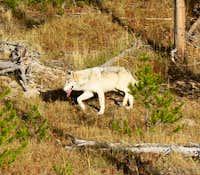 Coyote v. Wolf III