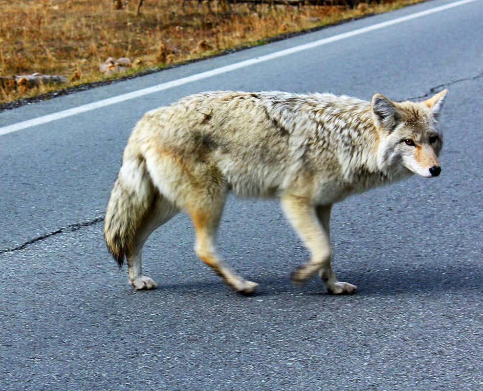 Wolf vs Coyote Identification