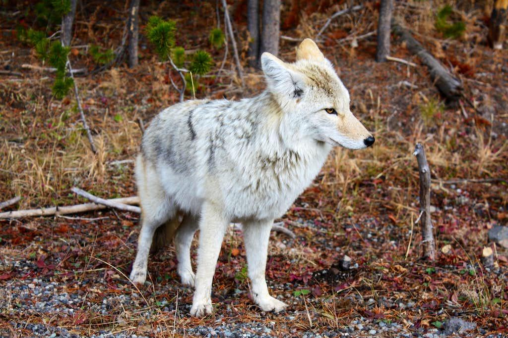 Coyote V  Wolf I