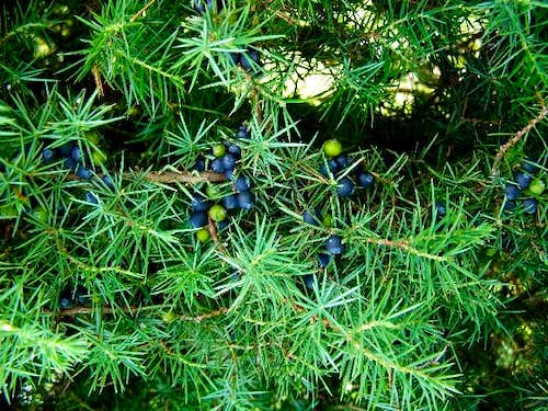 Ripe Juniper Berries