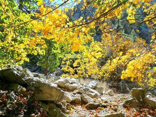 Maples Adorn the Canyon