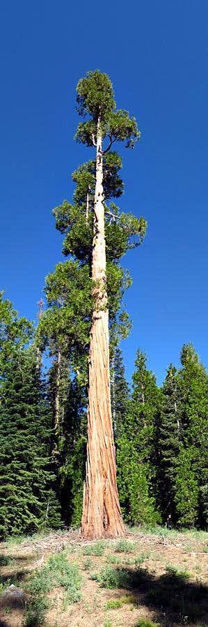 Seven Up Tree