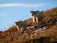 Goats on SF Peak