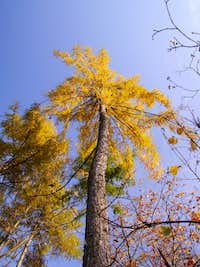 Larches ...