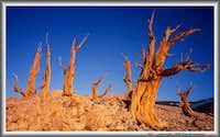 7 Bristlecone Pine Snag Sunrise