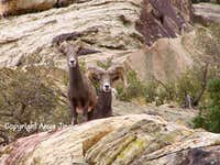A Pair of Bighorn Sheep