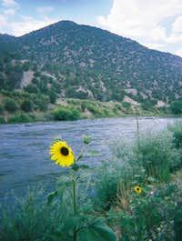 Sunflower Along the Colorado River