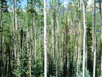 Lovely Aspen Trees