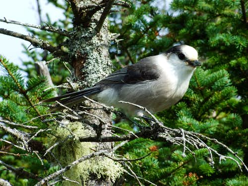 Gray Jay On Starr King