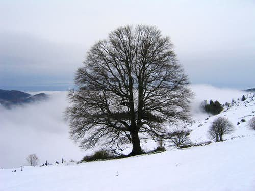Lone tree on Petit Ballon