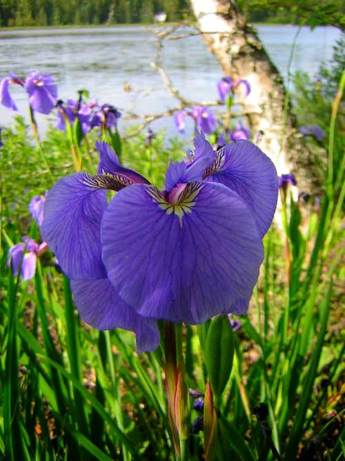 Iris by Alaskan lake