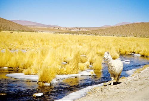 Alpaca on the road...