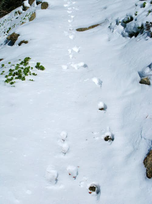 Bunny and bobcat chase tracks