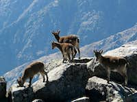 Goats visiting the summit