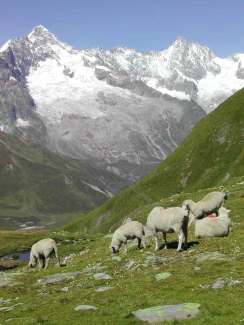 Sheep encountered along the pathway to Col du Bastillon <i>(2757m)</i>