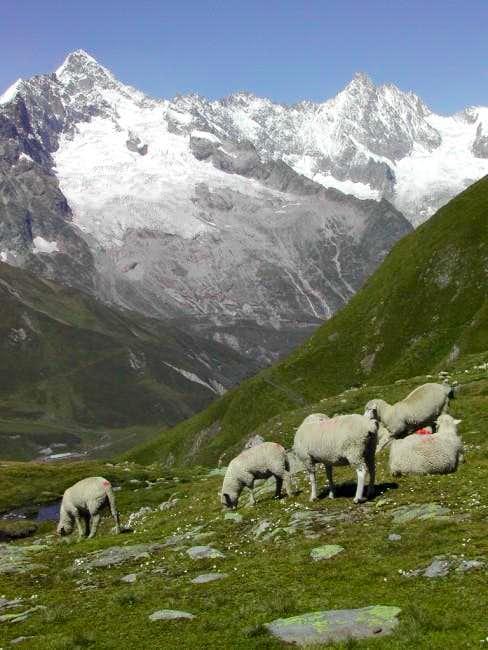 Sheep encountered along the pathway to Col du Bastillon <i>(2757m)</i>