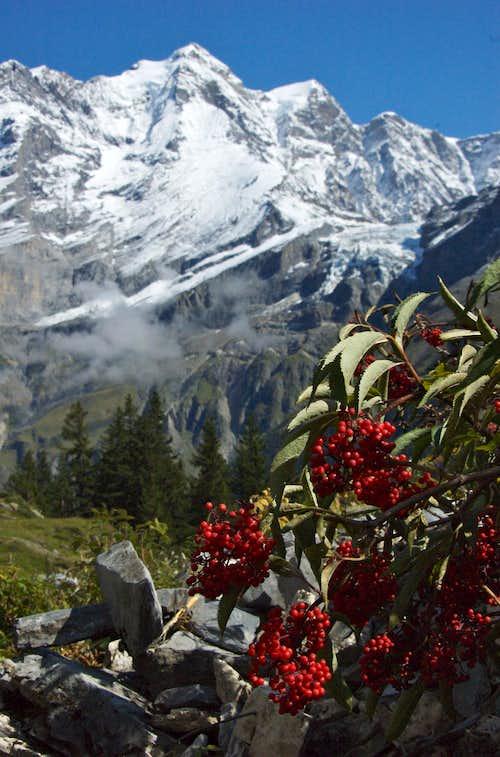 Jungfrau from Obersteinberg
