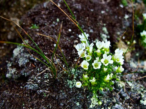Mountain Sandwort on Liberty
