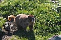 Marmot on Summit