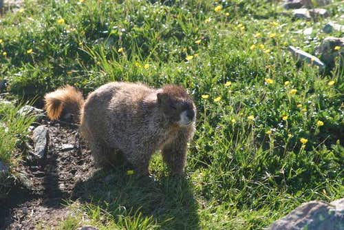 Marmot on Summit