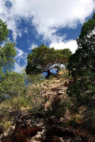 Pine Spring Canyon Tree