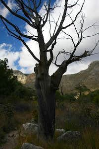 Pine Springs Canyon - Dead Tree