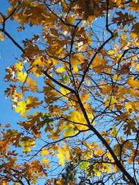 Sunlit Oak Leaves