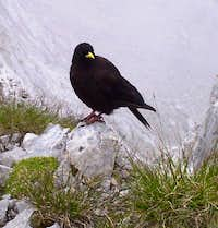 Alpine Chough on northern Grigna summit