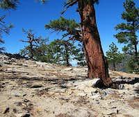 Pine Bursts Through Granite, Slowly