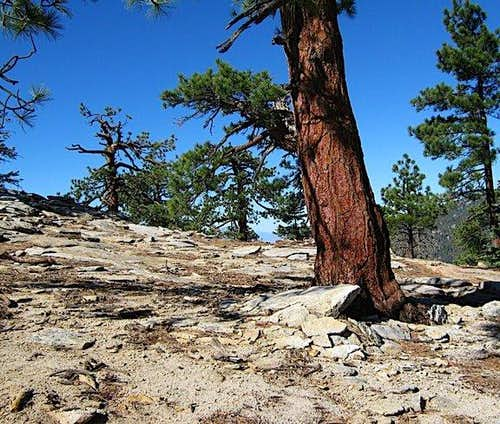 Pine Bursts Through Granite, Slowly