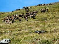 Lo stambecco (Capra ibex)
