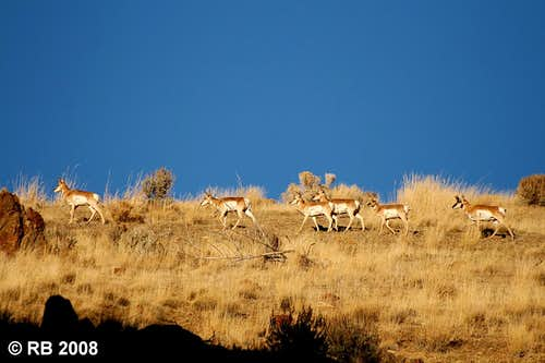 Antelope in the Piñon Range