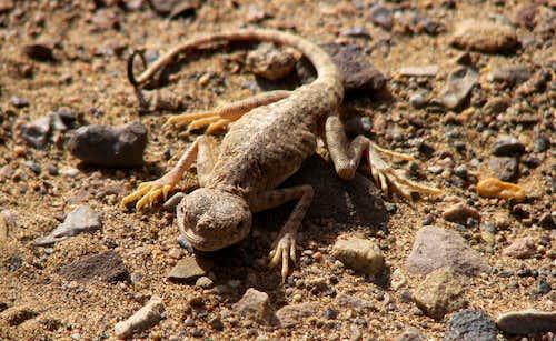 lizard (tabas iran)