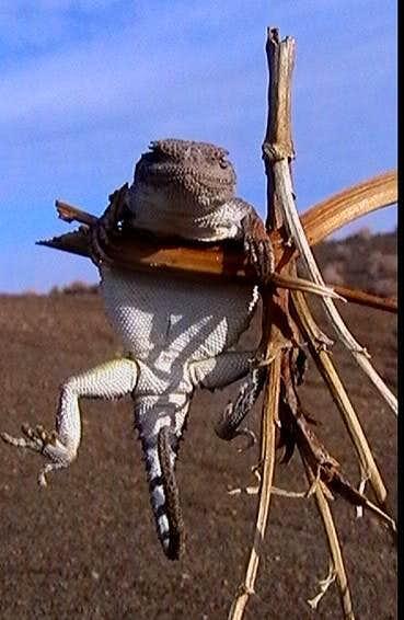 lizard (ferdos iran)