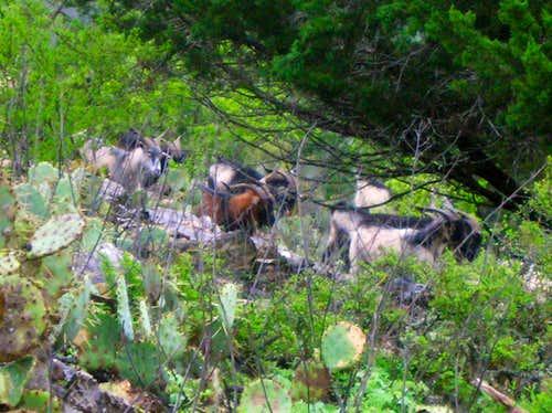 Goats!