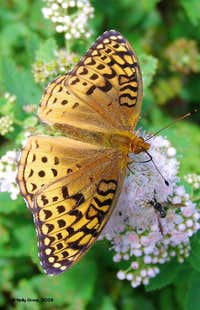Aphrodite Fritillary (Speyeria aphrodite), Liberty Trail, Mt. Chocorua, NH, photo taken 09Aug08