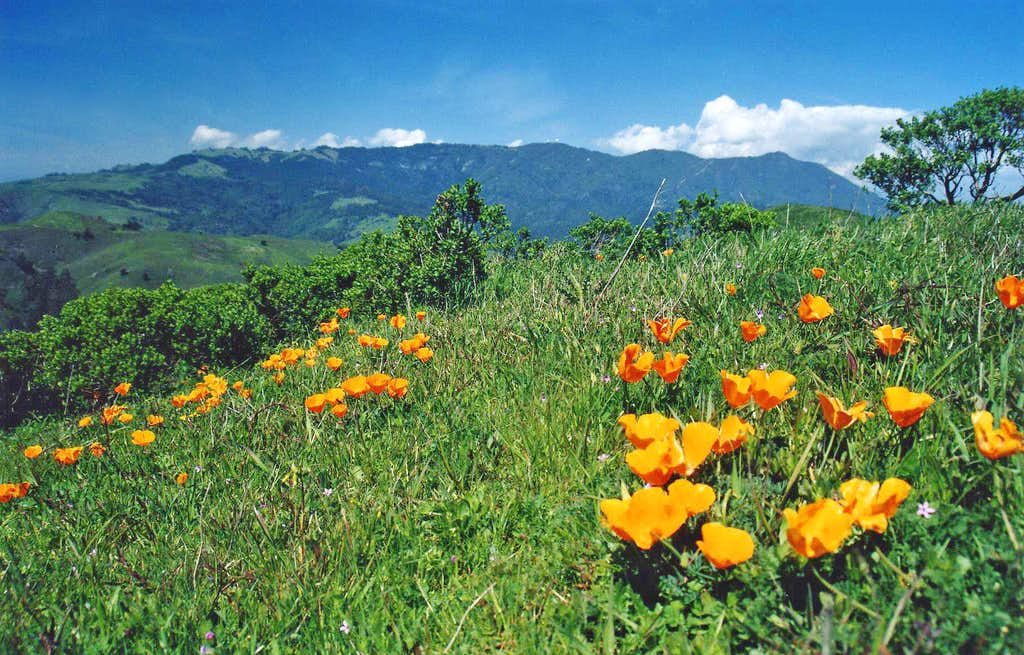 Poppies, the Headlands