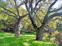 Oaks, Burdell Mtn. Open Space
