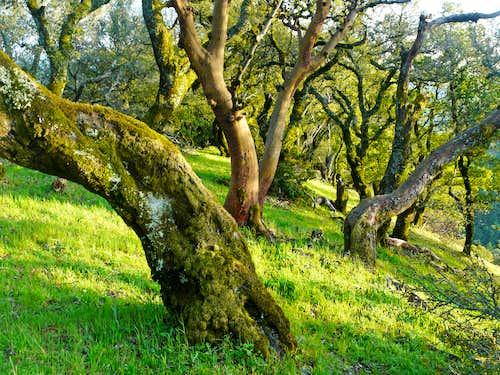 Oaks on ridge, Big Rock Ridge